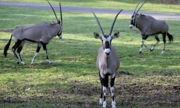 Oryxové jsou venku, hlavní sezona v zoo začala